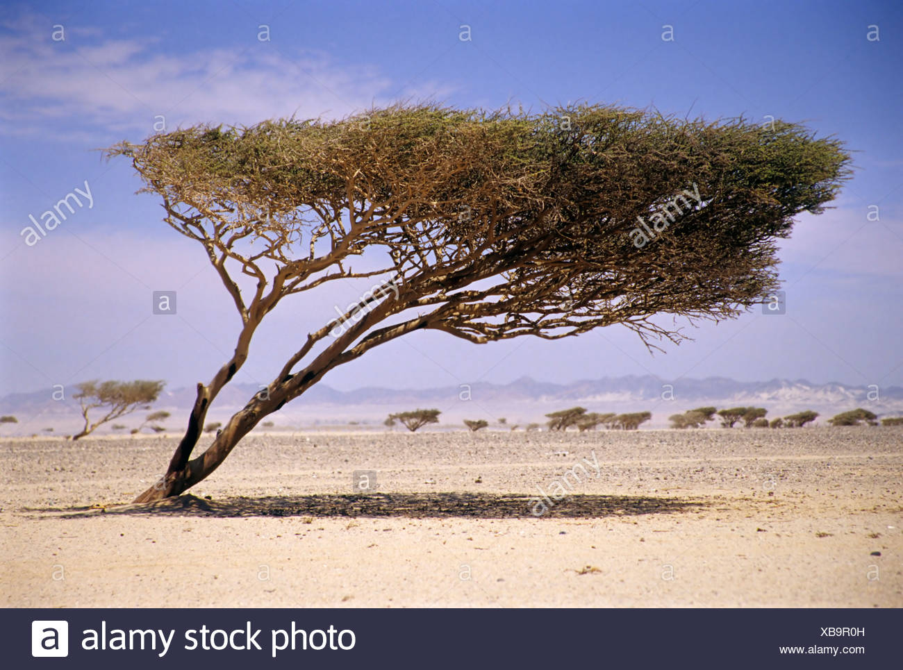 Tree bent by the wind, crooked, tree, trees, acacia, desert, Egypt, Africa - Stock Image