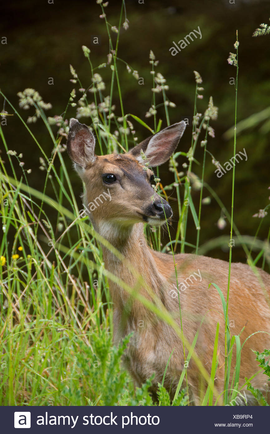 Coastal Blacktail deer, Odocoileus hemionus, Haida Gwaii, formerly known as Queen Charlotte Islands, British Columbia, Canada - Stock Image