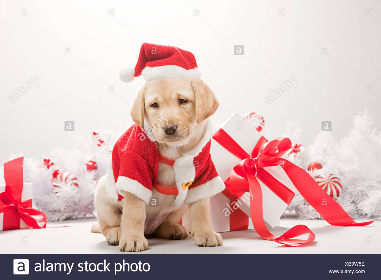 Labrador Puppy In Christmas Costume Stock Photo Alamy