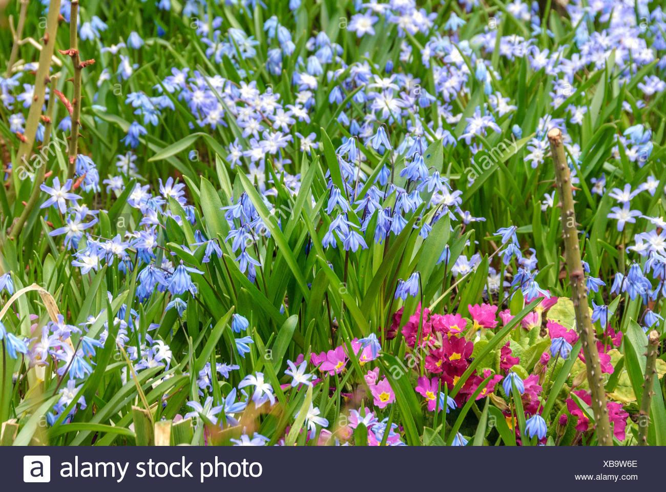 Siberian scilla, Siberian squill (Scilla siberica (falsch: Scilla sibirica)), blooming together with primroses, Germany - Stock Image