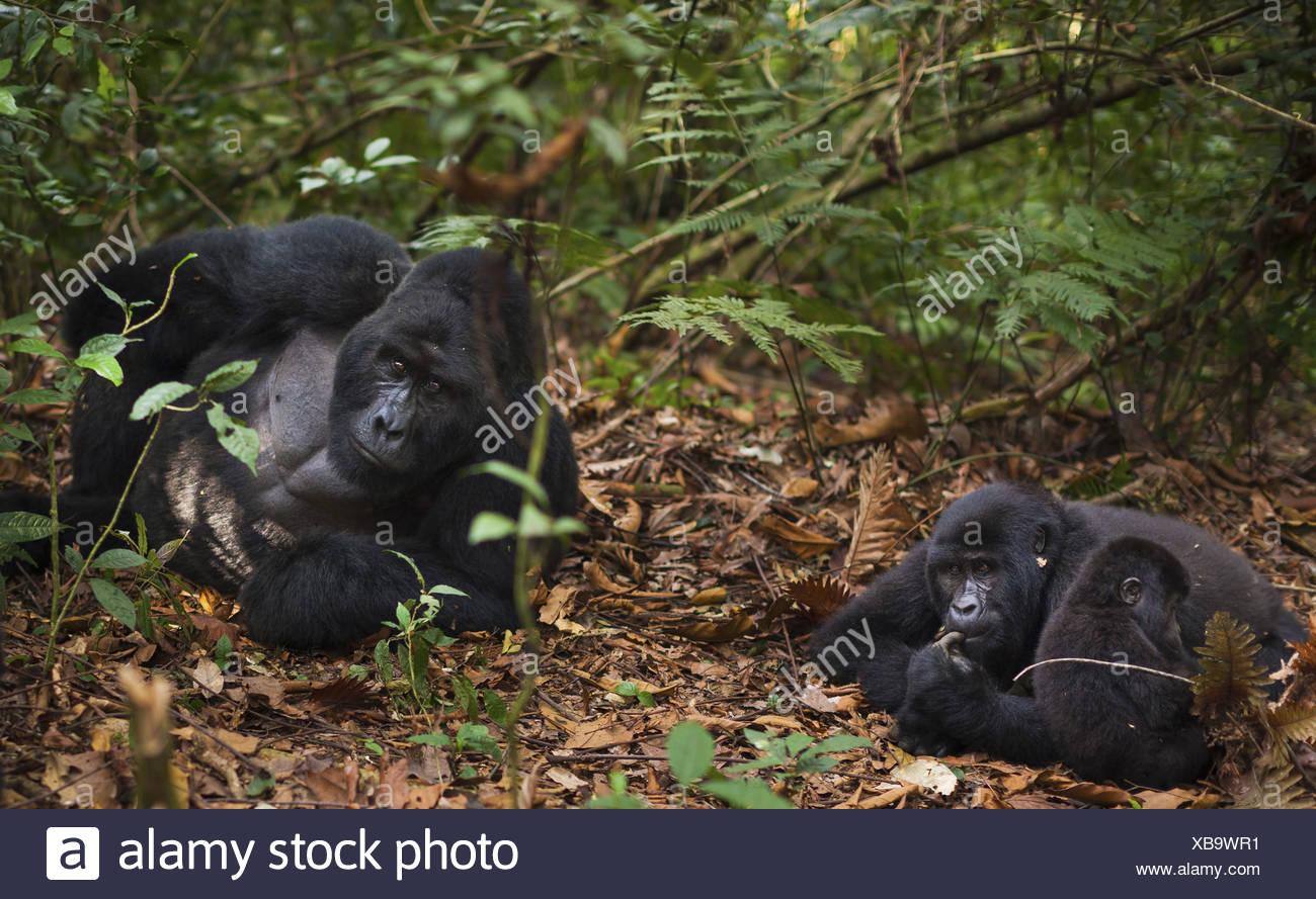 Mountain gorillas and juvenile, Volcanoes National Park, Rwanda - Stock Image