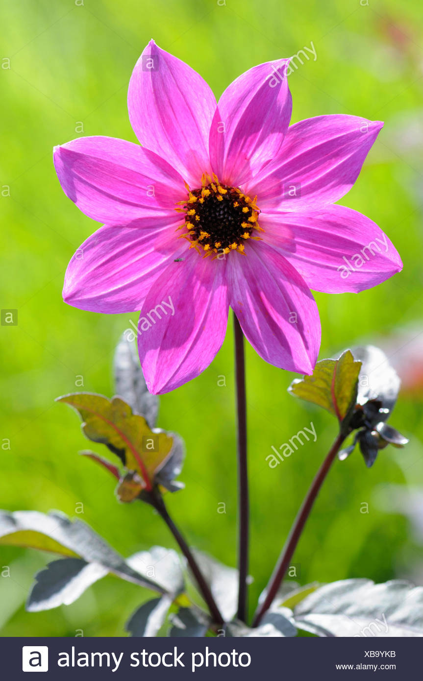 Dahlia, Dahlia 'Magenta Star', Beauty in Nature, Bulb, Colour, Cottage garden plant, Creative, Flower, Autumn Flowering, Summer Flowering, Frost tender, Growing, Outdoor, Plant, Stamen, Tuber, Vivid Colour, Pink, - Stock Image