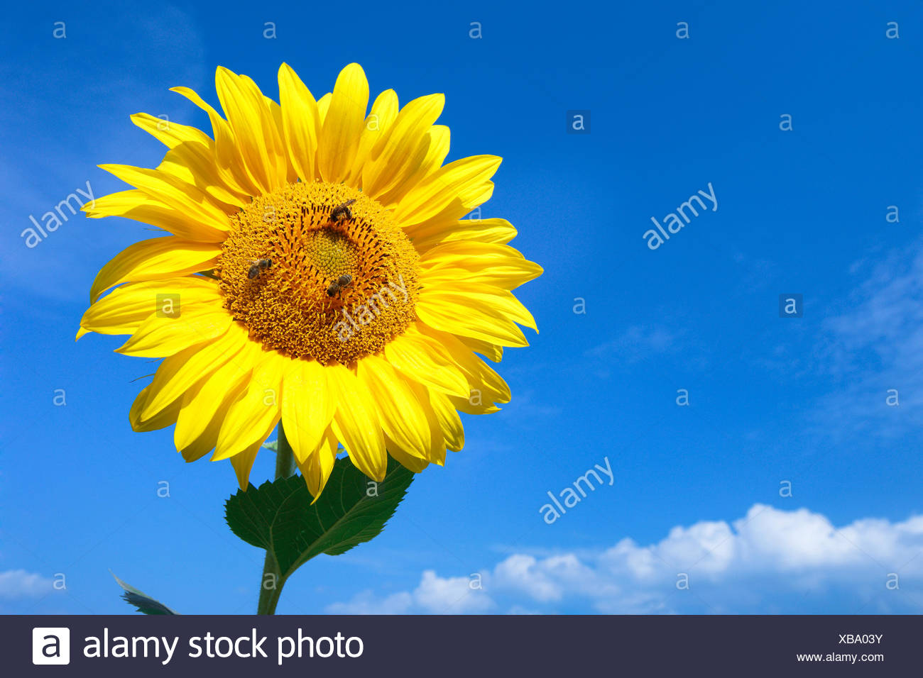 common sunflower (Helianthus annuus), single sunflower in front of blue sky with three honey bees, Switzerland, Zuercher Oberland - Stock Image