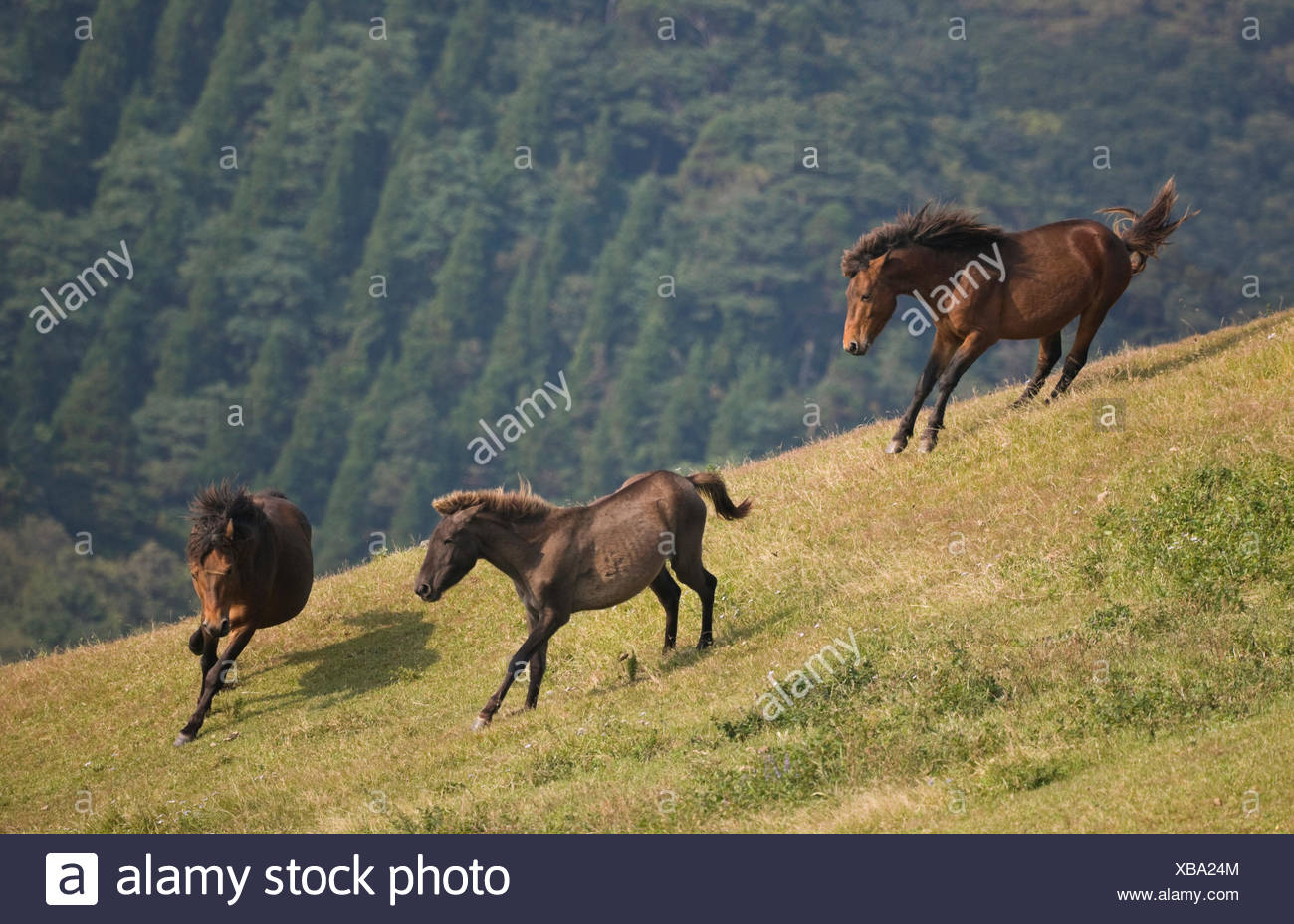 A wild Misaki-uma breeding stallion (right) brings back one of his mares to his band while another breeding stallion (left) charges him away, in the Cape Toi Reserve, Miyazaki Prefecture, Kyushu Island, Japan. - Stock Image
