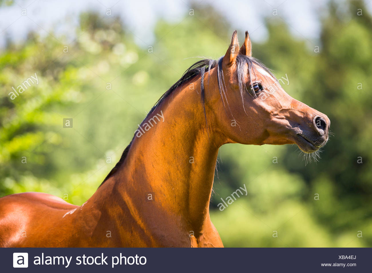 Arab Horse, Arabian Horse. Portrait of bay stallion. Switzerland - Stock Image