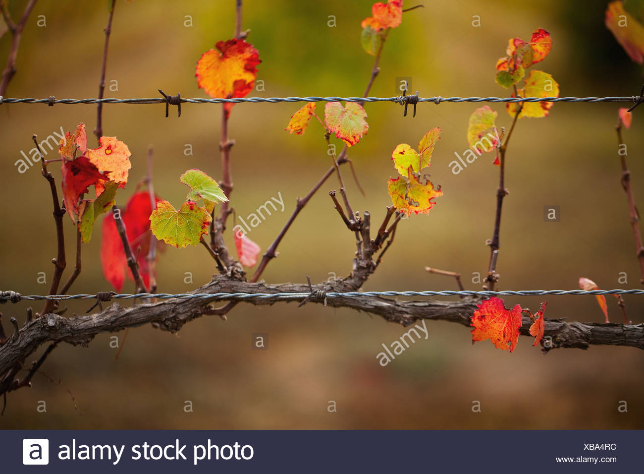 Grape vine on barbed wire fence, Tulbagh, South Africa - Stock Image