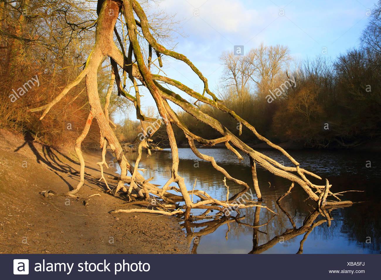 fallen tree in river flood plain in winter, Germany, Baden-Wuerttemberg - Stock Image
