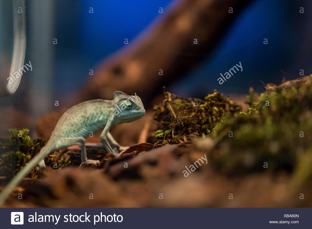 Small Lizard In Terrarium For Home Decor Stock Photo Alamy