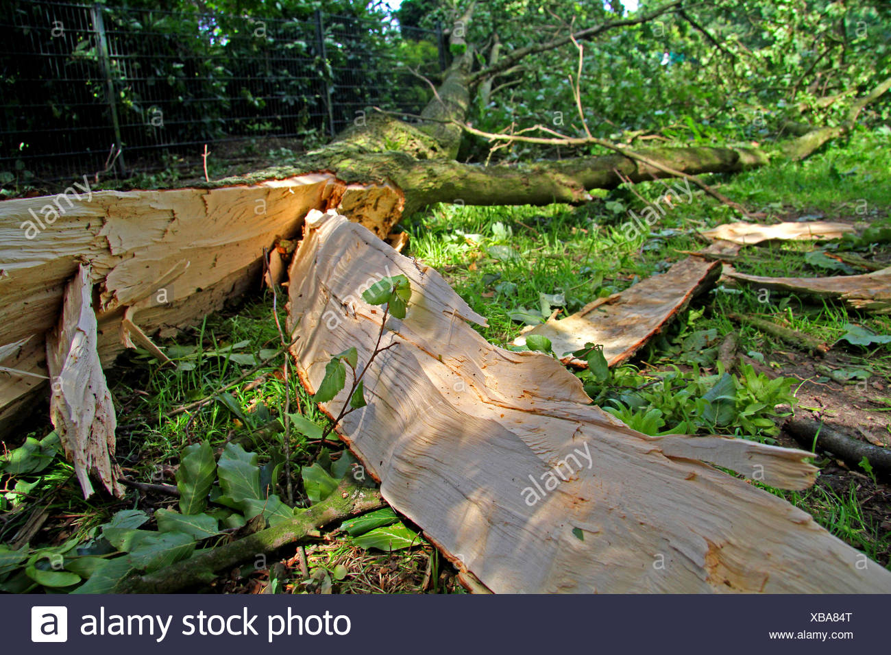 broken trunk after storm front Ela at 2014-06-09, Germany, North Rhine-Westphalia, Ruhr Area, Essen - Stock Image