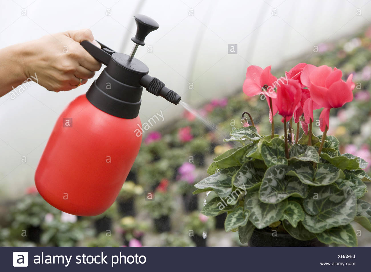 Spraying flowers in greenhouse - Stock Image