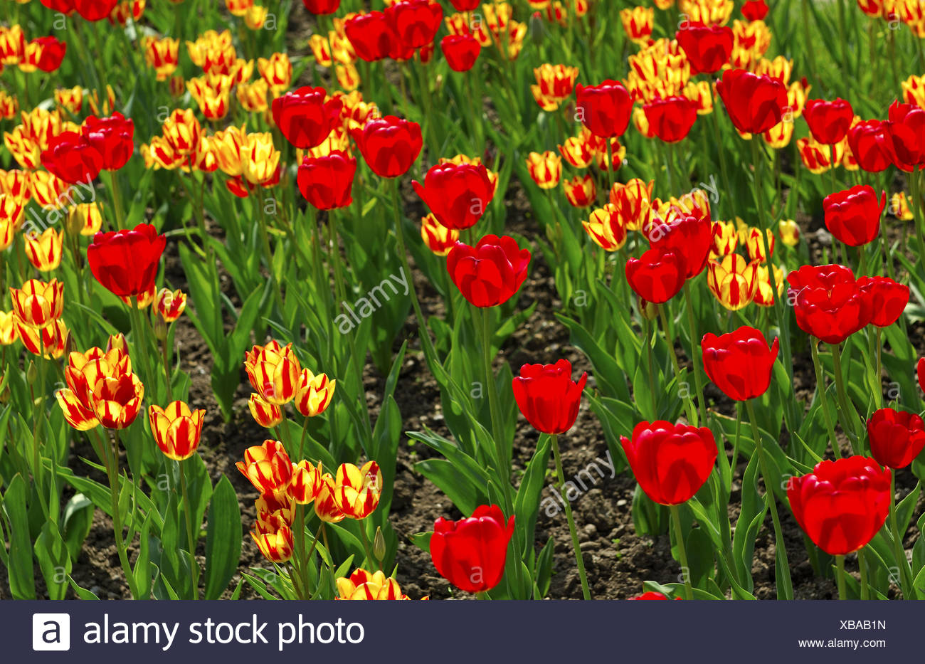 Red Gorgette und Colour Spectacle Tulips - Stock Image