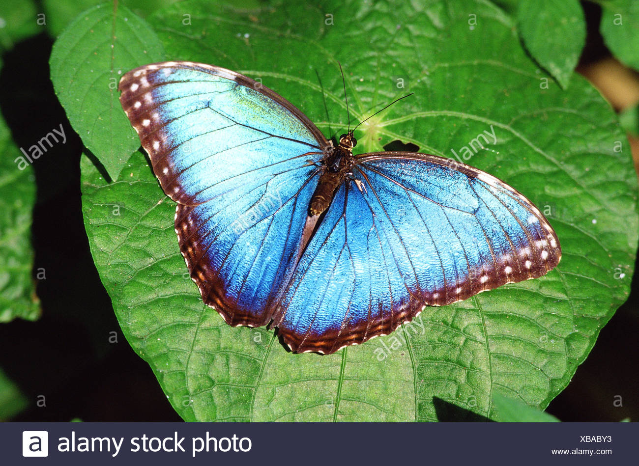 Blue morpho butterfly (Morpho peleides) on leaf. Costa Rica, South America. - Stock Image
