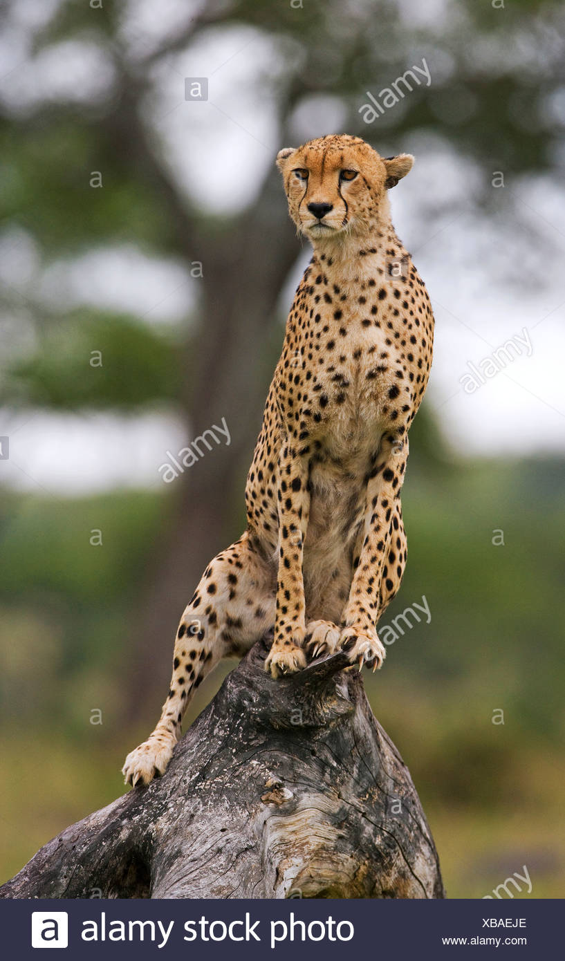 Cheetah, Serengeti National Park, Tanzania. - Stock Image