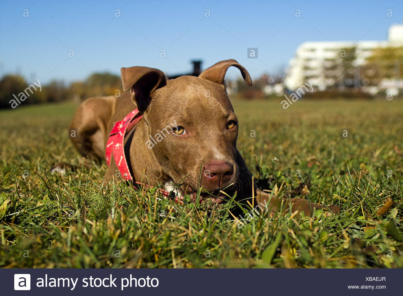 animal dog puppy terrier game tournament play playing plays played brown - Stock Image