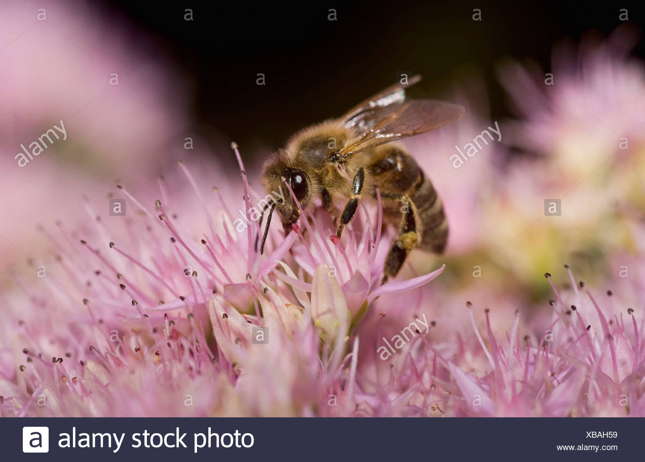 A honey bee (Apis mellifica) perched on a flower - Stock Image