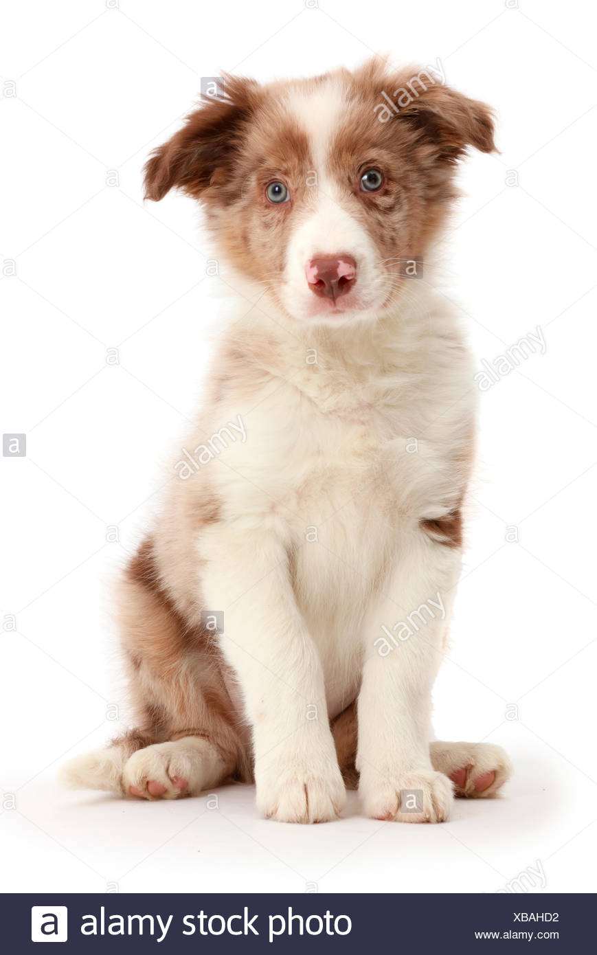 Red Merle Border Collie Puppy Sitting Stock Photo 282360318 Alamy