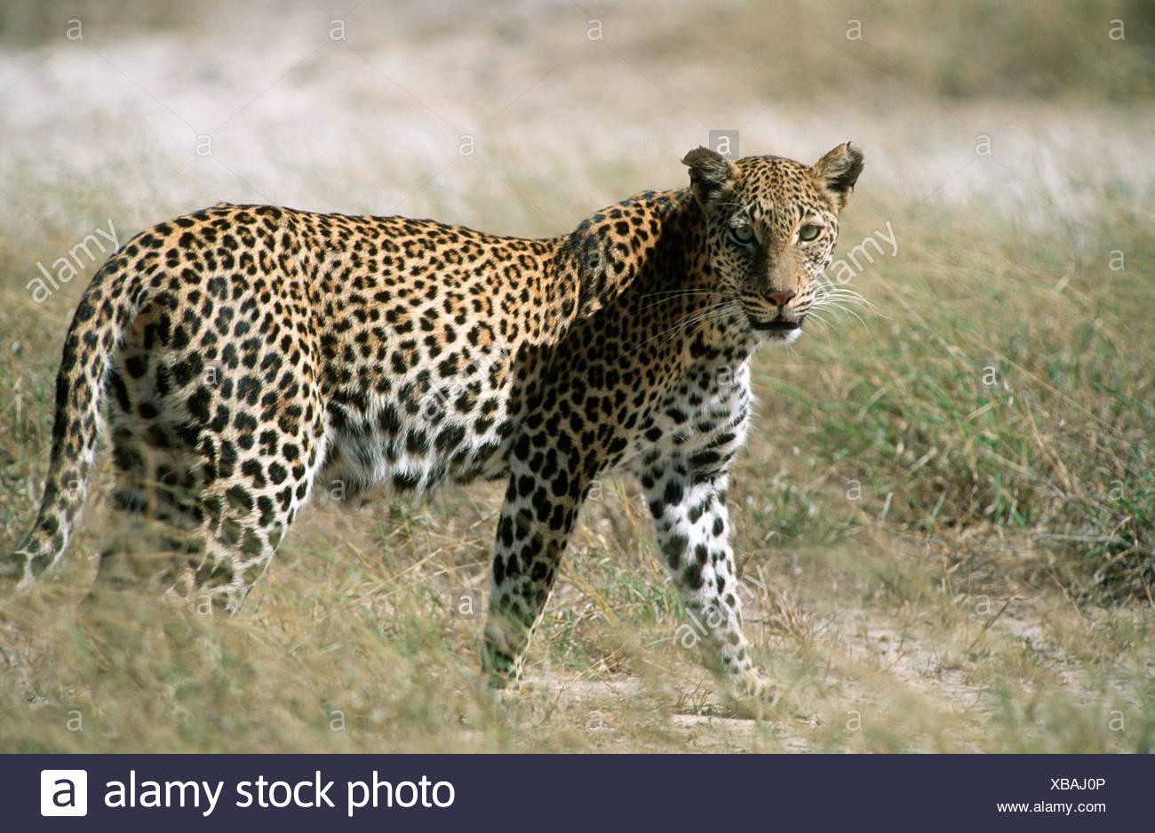 Portrait of a Leopard (Panthera pardus) in the Bushveld - Stock Image
