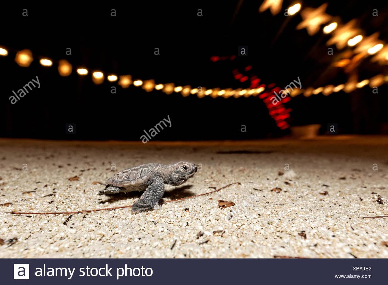 Juvenile Hawksbill Sea Turtle at Beach, Eretmochelys imbricata, Caribbean Sea, Barbados - Stock Image