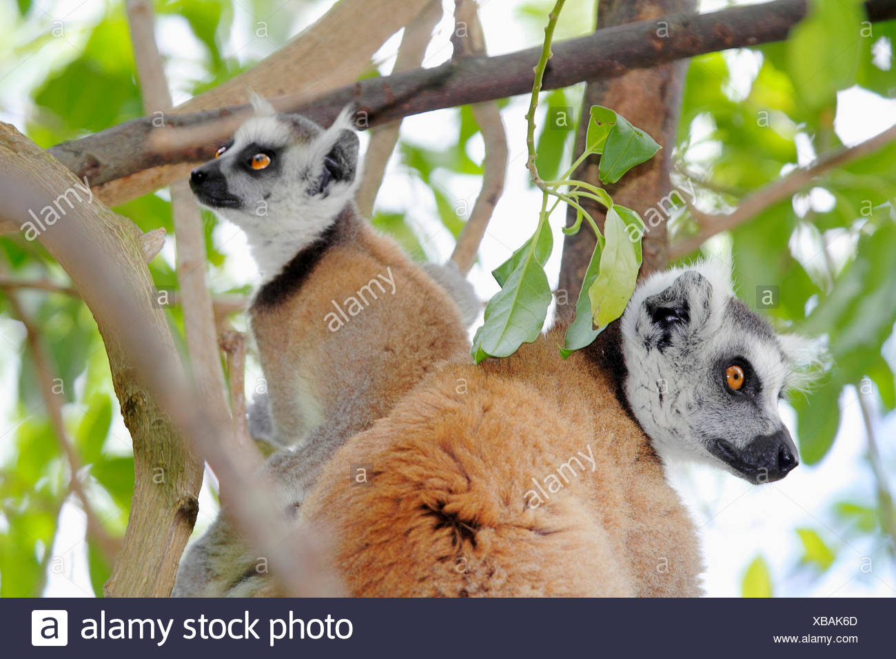 ring-tailed lemur (Lemur catta), two animals are sitting on a branch and looking in different directions, Madagascar, Anja Park - Stock Image