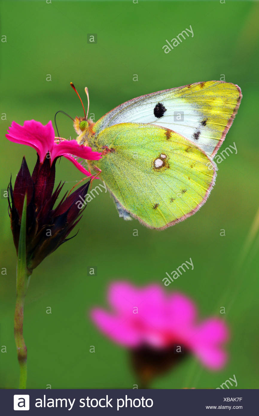 Pale Clouded Yellow (Colias hyale), sitting on a pink, Germany - Stock Image