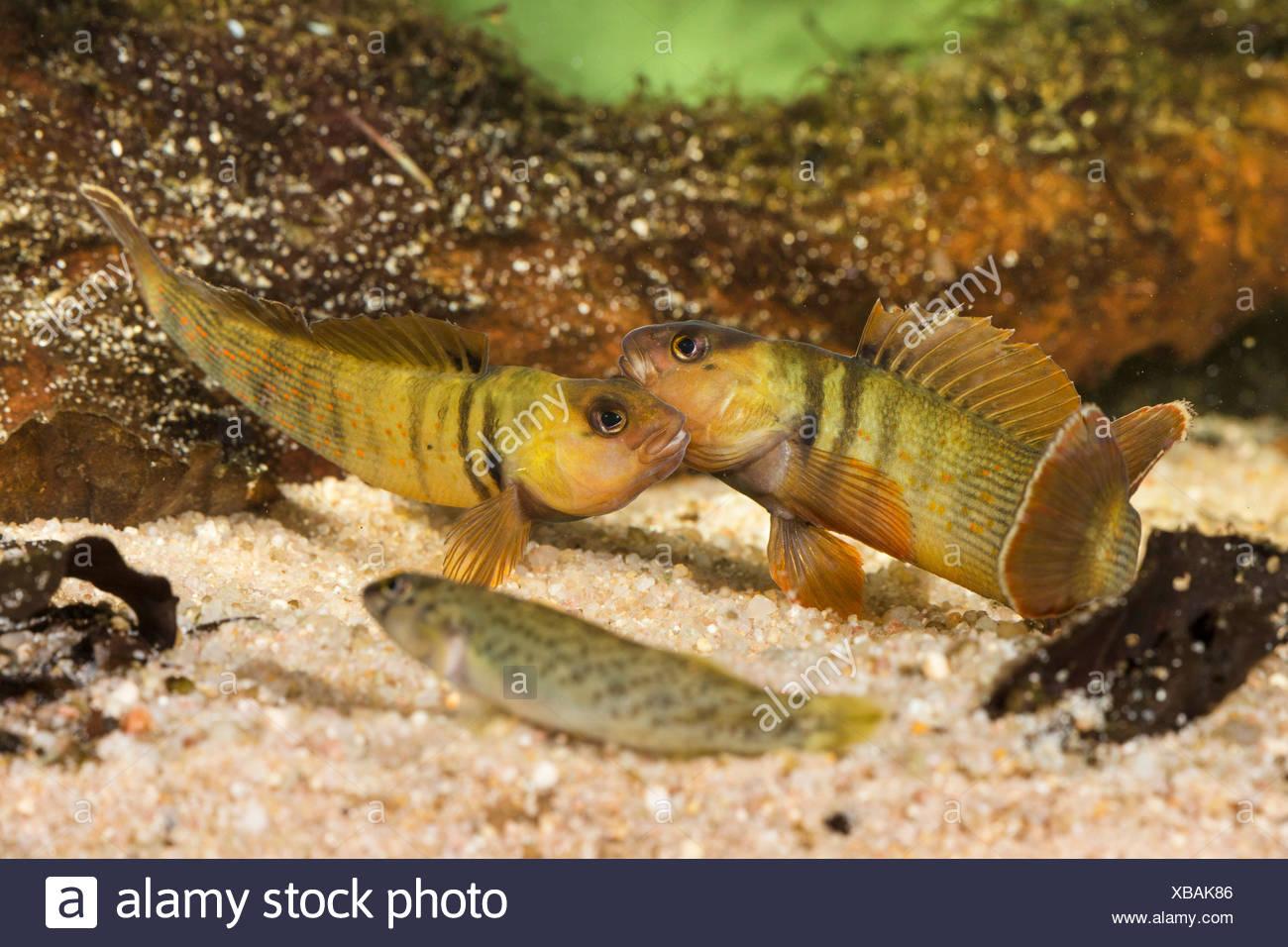 Blaubrust-Springbarsch, Blaubrustspringbarsch (Etheostoma camurum), rivalisierende Maennchen mit Weibchen | Bluebreast Darter  ( Stock Photo