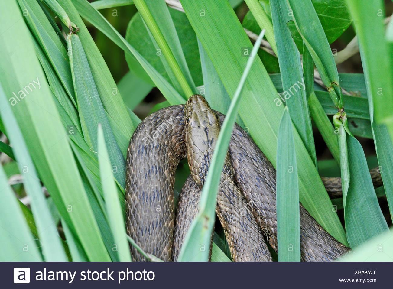 Tessellaed Snake, Natrix tessellata  Female  Gold or copper colored  European non-venomous snake  Colubrid  Dice Snake  The - Stock Image