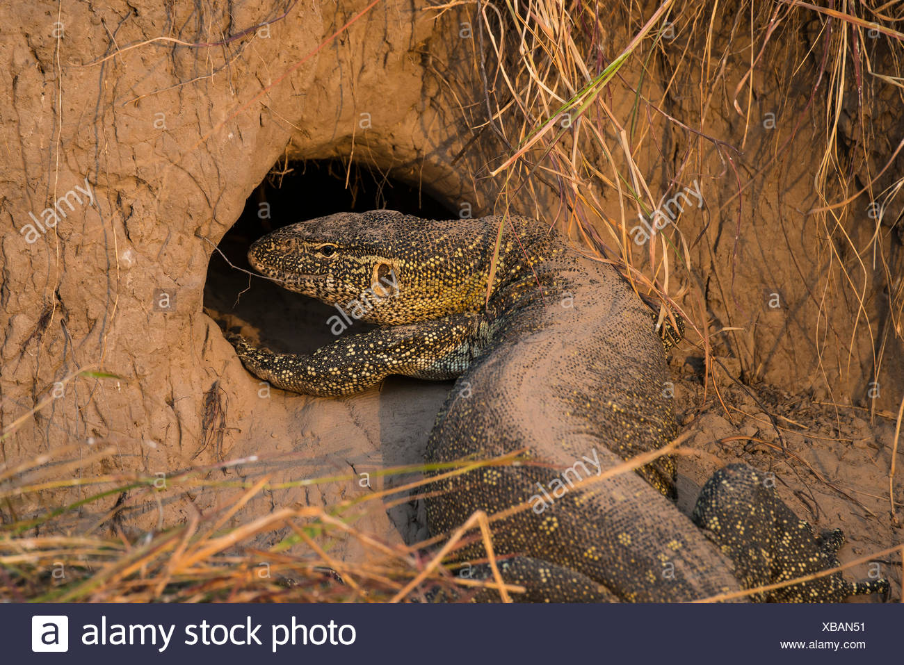 Nile monitor (Varanus niloticus) in front of hole in termite mound, Chobe National Park, Botswana - Stock Image