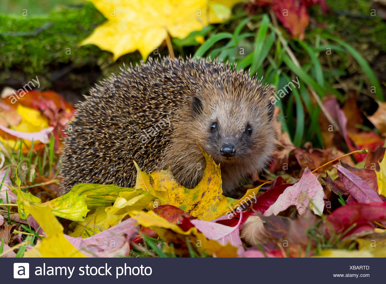 Western hedgehog, European hedgehog (Erinaceus europaeus), with autumn leaves, Switzerland, Sankt Gallen - Stock Image