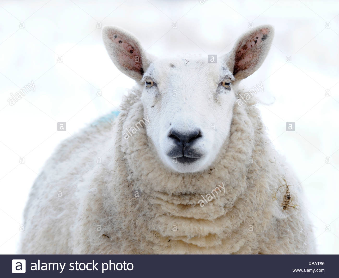 A white faced sheep photographed in the snow - Stock Image