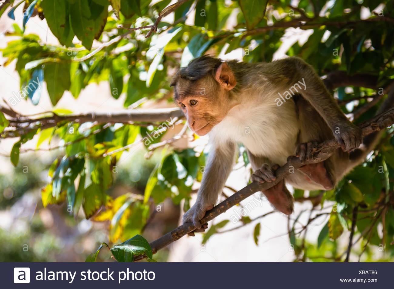 Monkey Sitting On Branch - Stock Image