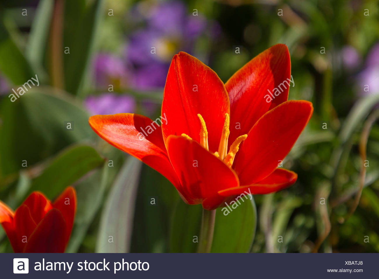 Red Tulip (Tulipa sp.) in a garden, spring, Germany, Europe - Stock Image
