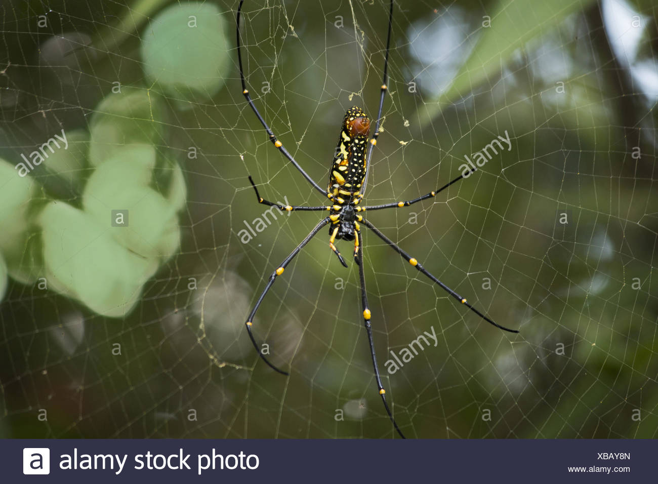 Giant wood spider, Nephila sp., Manu, Tripura A large spider that makes large orb webs nearly 8-10 feet in diameter. - Stock Image