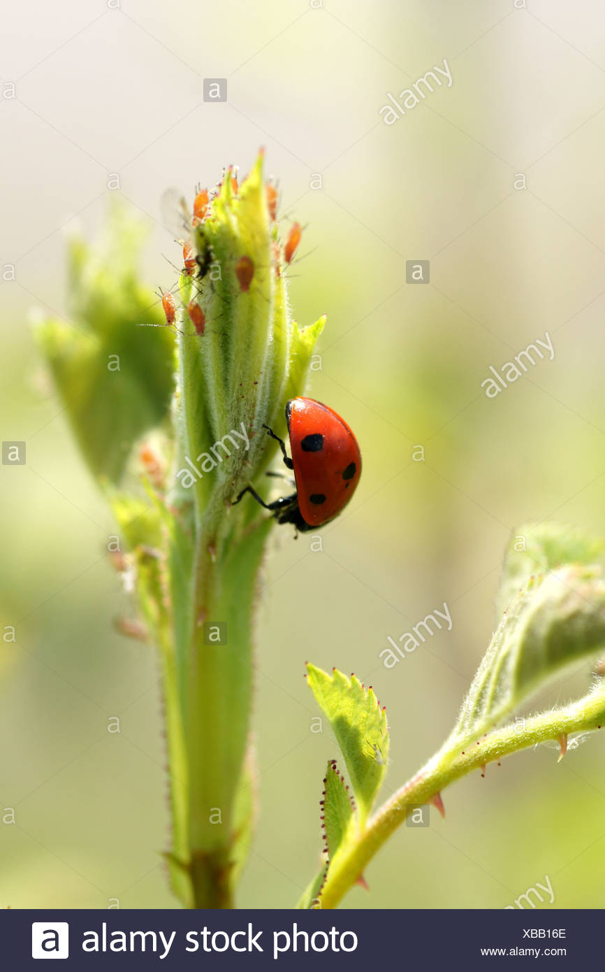 Rose-sprout with plant lices and lay beatle - Stock Image