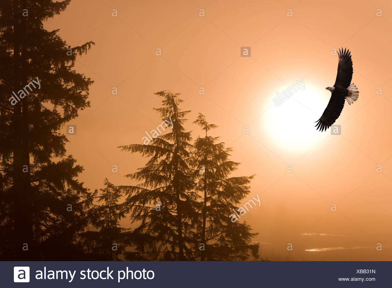 Bald Eagle soars above Tongass National Forest as sun rises on a misty morning, Alaska. composite - Stock Image
