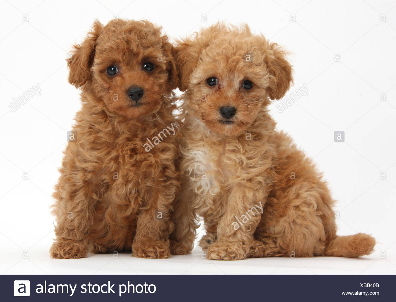 Red Toy Dogs : Two cute red toy poodle puppies against white background