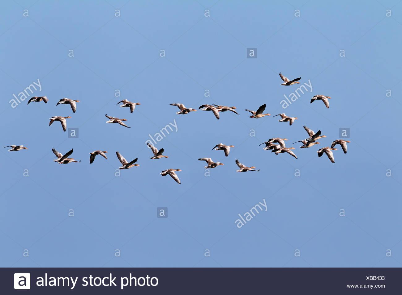 Flying greylag geese (Anser anser), bird migration, fall migration, Western Pomerania Lagoon Area National Park - Stock Image