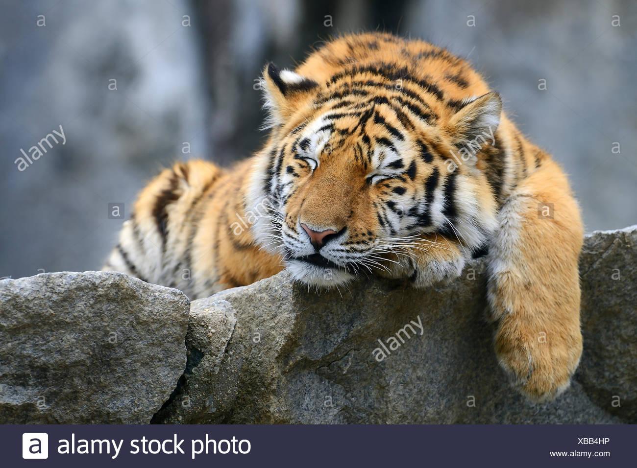 Young Siberian tiger (Panthera tigris altaica), sleeping on rock, captive - Stock Image