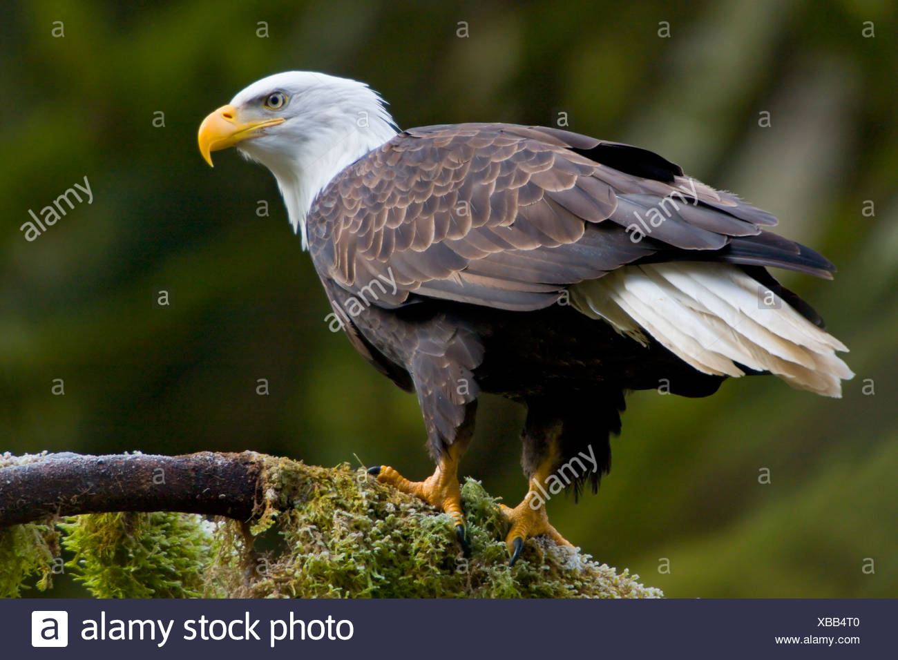 Bald eagle (Haliaeetus leucocephalus) perched on a mossy branch in Victoria, Vancouver Island, British Columbia, Canada - Stock Image