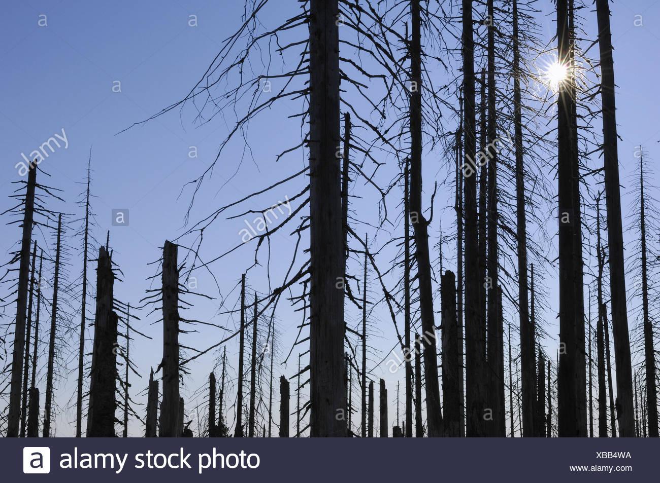 Forest, forest decline, bark beetle infestation, bare, sun, - Stock Image