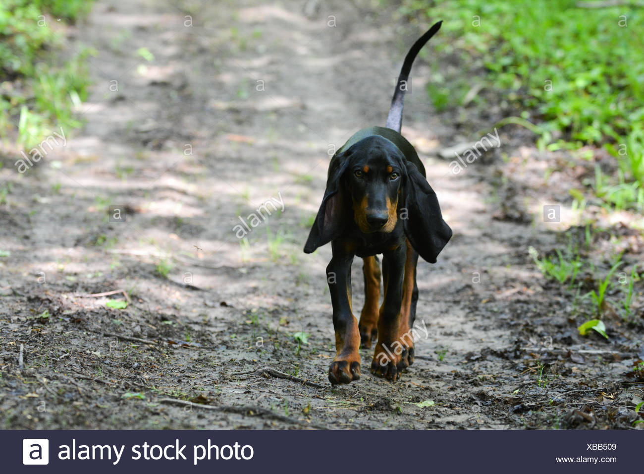 Black Tan Coonhound Walking On Stock Photos & Black Tan ...