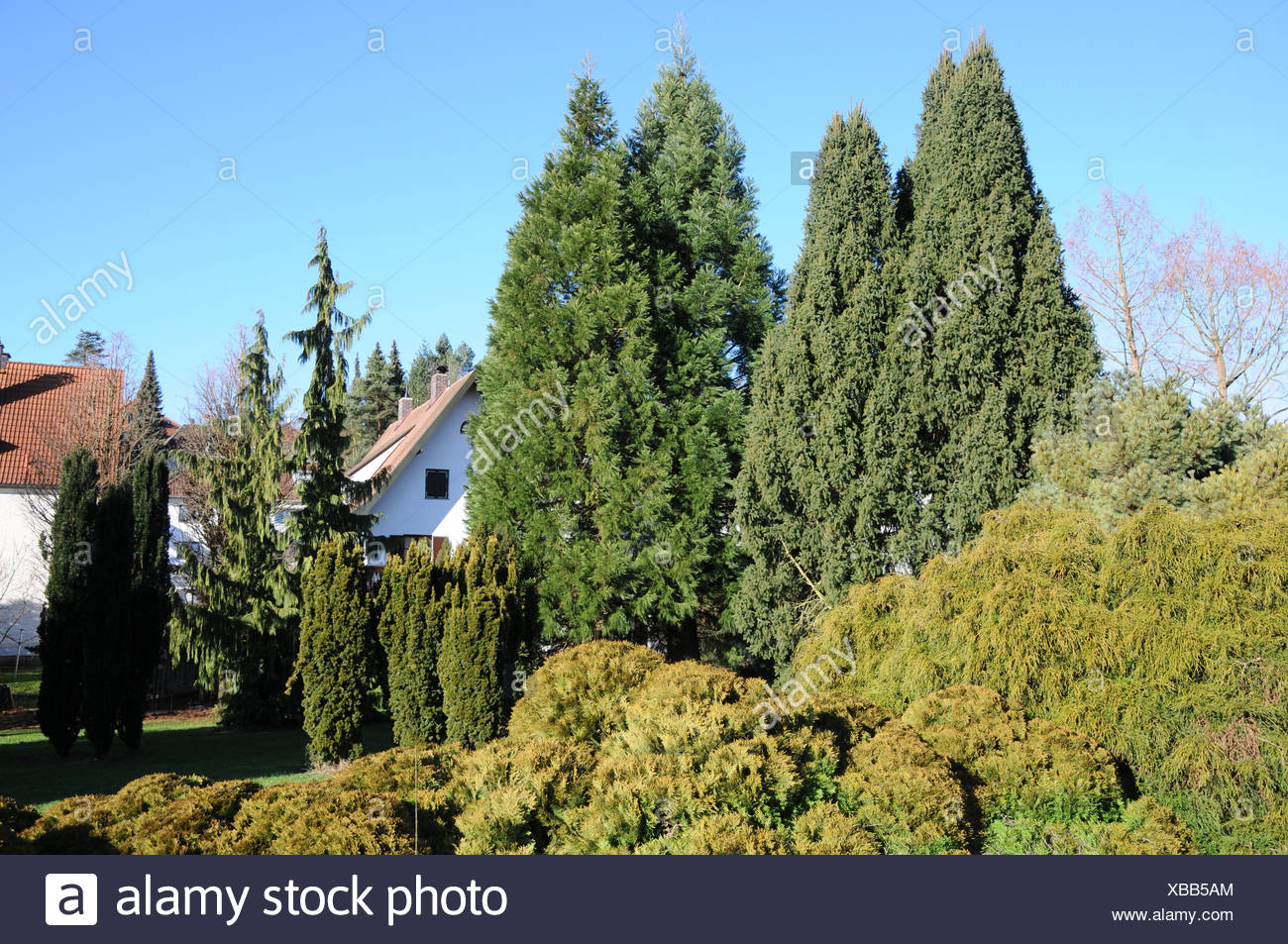 Coniferous trees - Stock Image