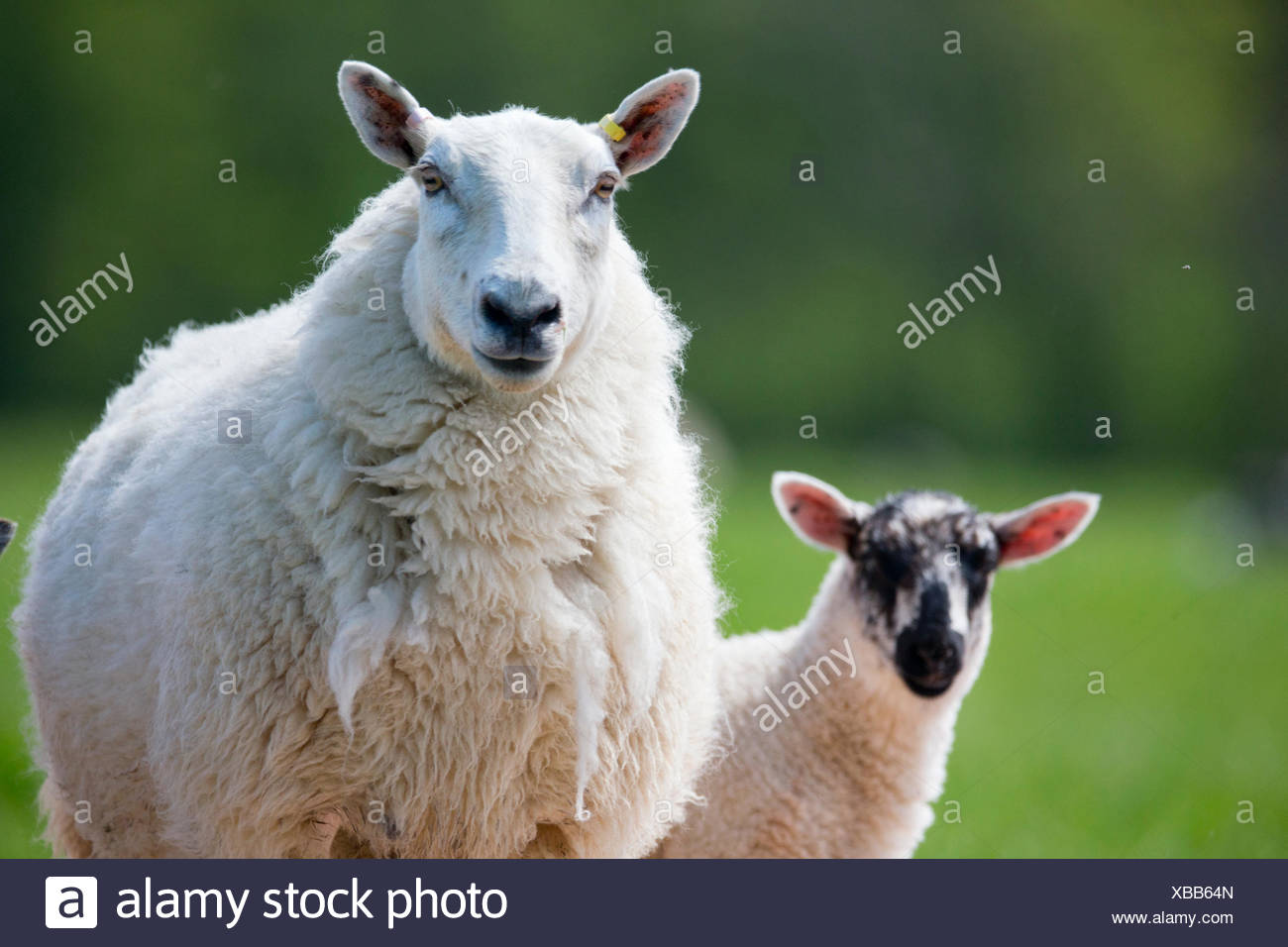 Portrait sheep and lamb - Stock Image