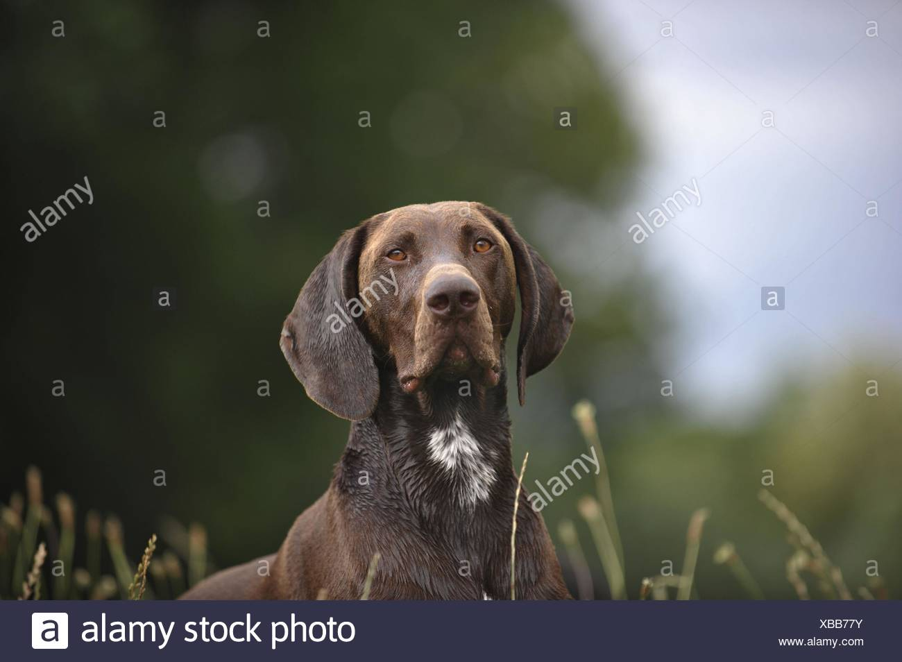 German shorthaired Pointer Portrait - Stock Image