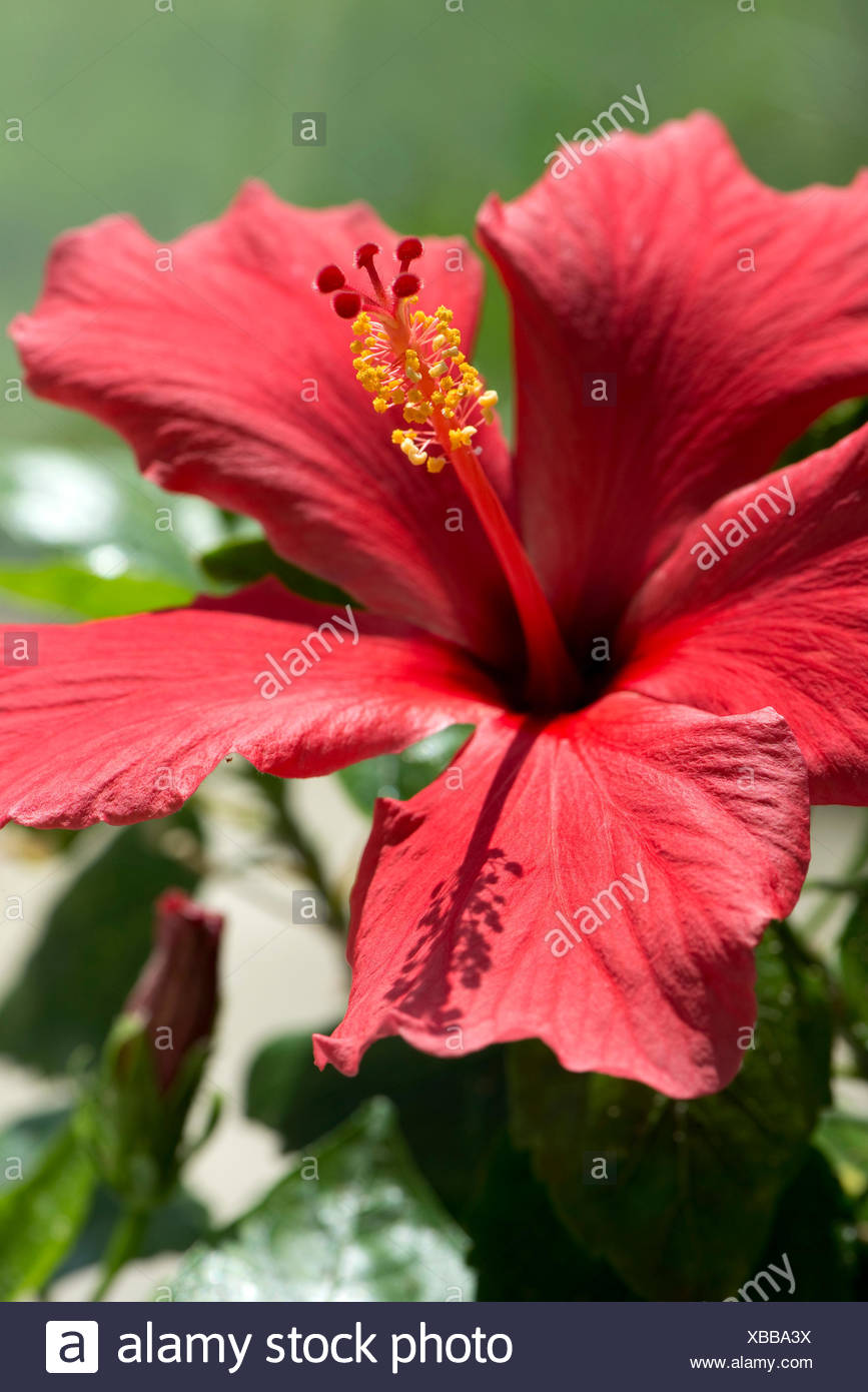 Red flower of Hibiscus rosa-sinensis or rose mallow with open petals and pronounced pistil supporrting styles, stigma and filaments with anthers - Stock Image
