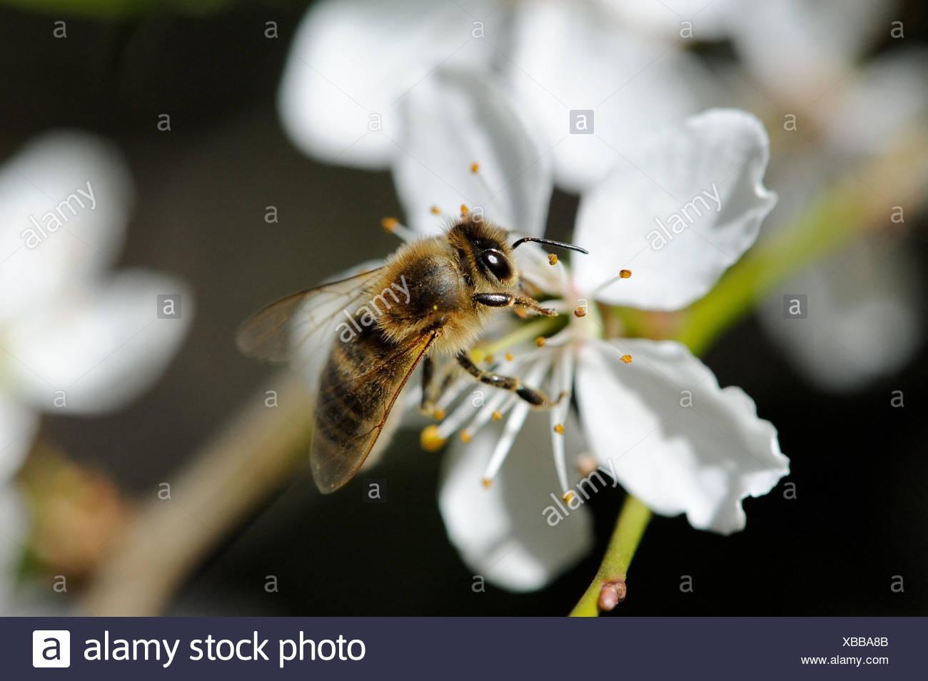 Baumblüten mit Biene Stock Photo