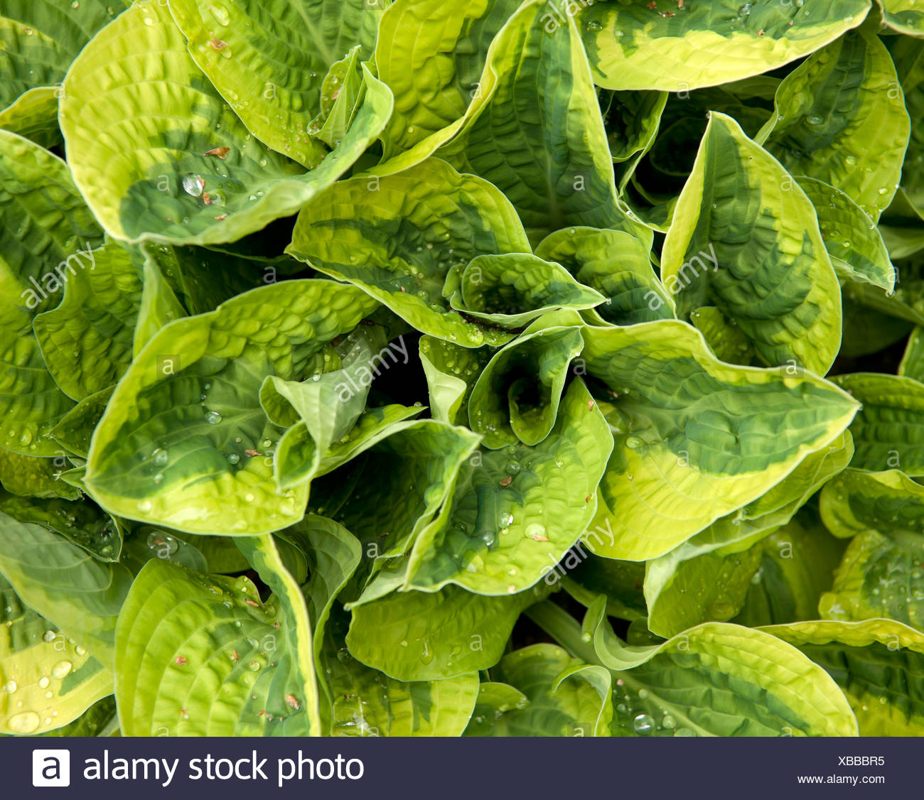 A hosta plant with variegated leaves - Stock Image