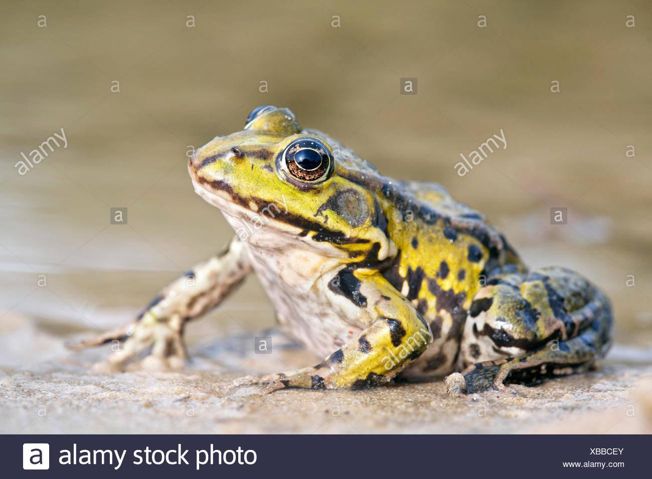 photo of a edible frog on the shore Stock Photo