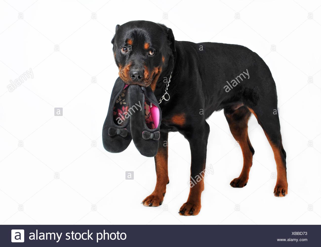 pet dog slippers - Stock Image