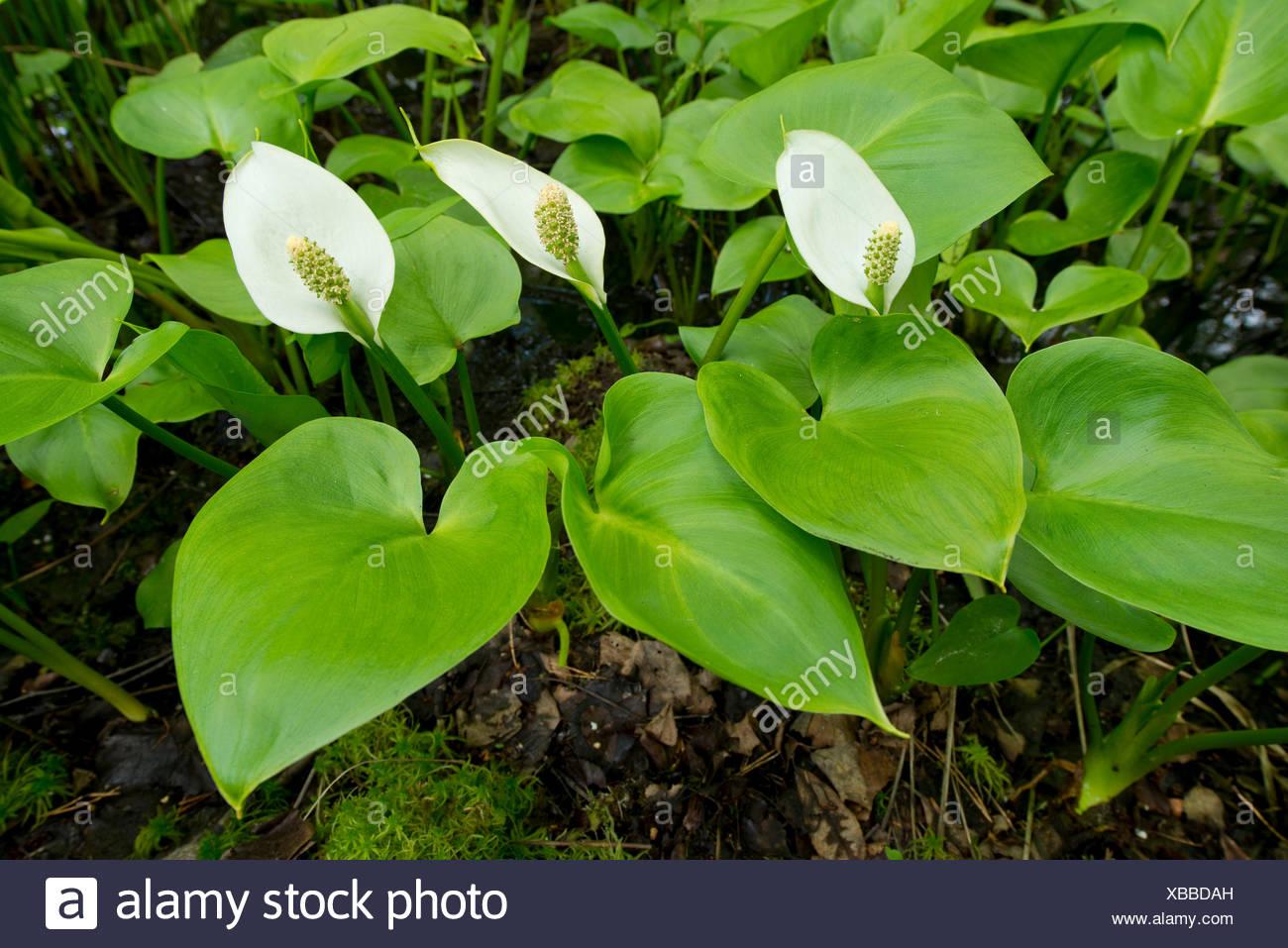 Bog Arum (Calla palustris), Lower Saxony, Germany - Stock Image