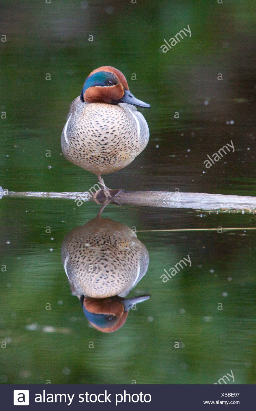 A male Green-winged teal sits on one leg on log reflecting in water, Alaska - Stock Image